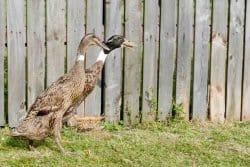 Connaissez-vous le canard chasseur de limaces ?