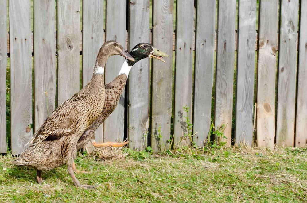 Connaissez vous le canard chasseur de limaces - Comment cuisiner le canard sauvage ...