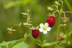 Quel plaisir y a-t-il à cultiver la fraise des bois au jardin?