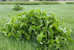 Connaissez-vous la plante de raifort ?
