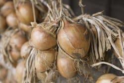 Récolter des oignons pour la conservation devient difficile, pourquoi?