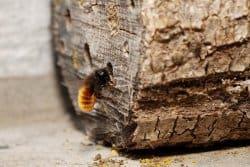 L'osmie, cette abeille qui aime les châssis de vos fenêtres !