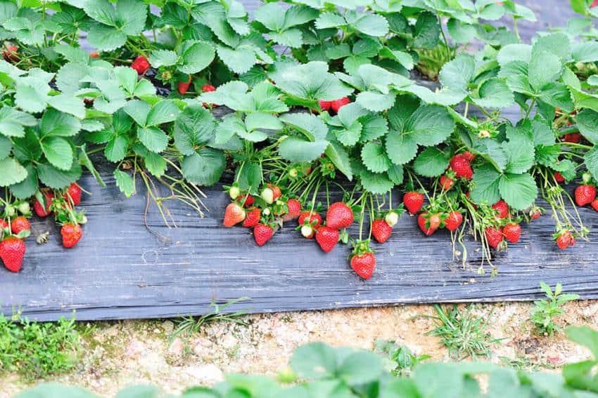 Il est encore temps de planter des fraisiers