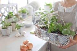 Cultiver des plantes aromatiques en pots