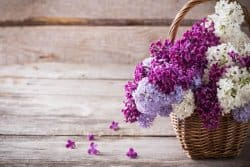 Le lilas, c'est incontournable des jardins de curé
