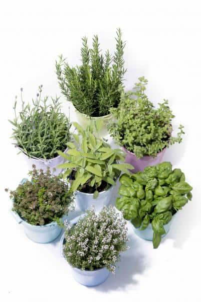 cultiver des plantes aromatiques en pots. Black Bedroom Furniture Sets. Home Design Ideas
