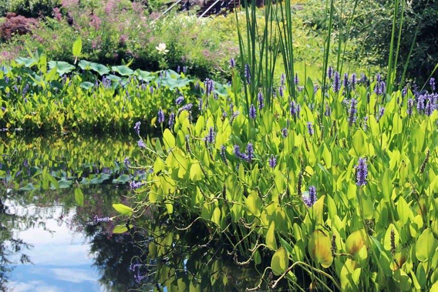 Quelles plantes aquatiques choisir pour une pièce d'eau fleurie en été?