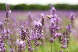 L'abeille et le pollen