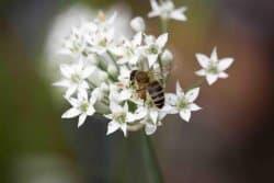 Menacée l'abeille noire ?