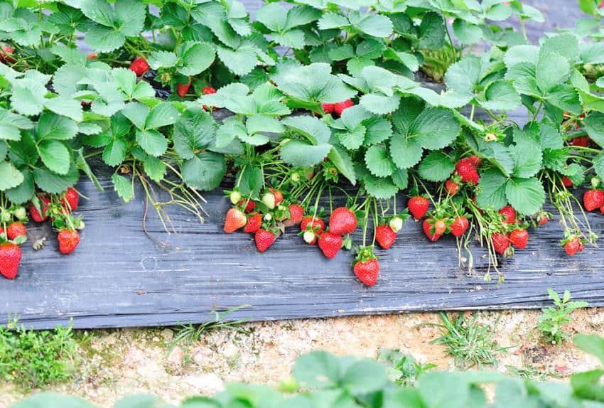 il est encore temps de planter des fraisiers. Black Bedroom Furniture Sets. Home Design Ideas