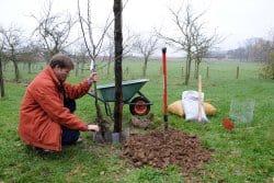 Quand et comment planter les arbres fruitiers?
