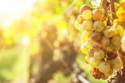 La pourriture grise de la vigne