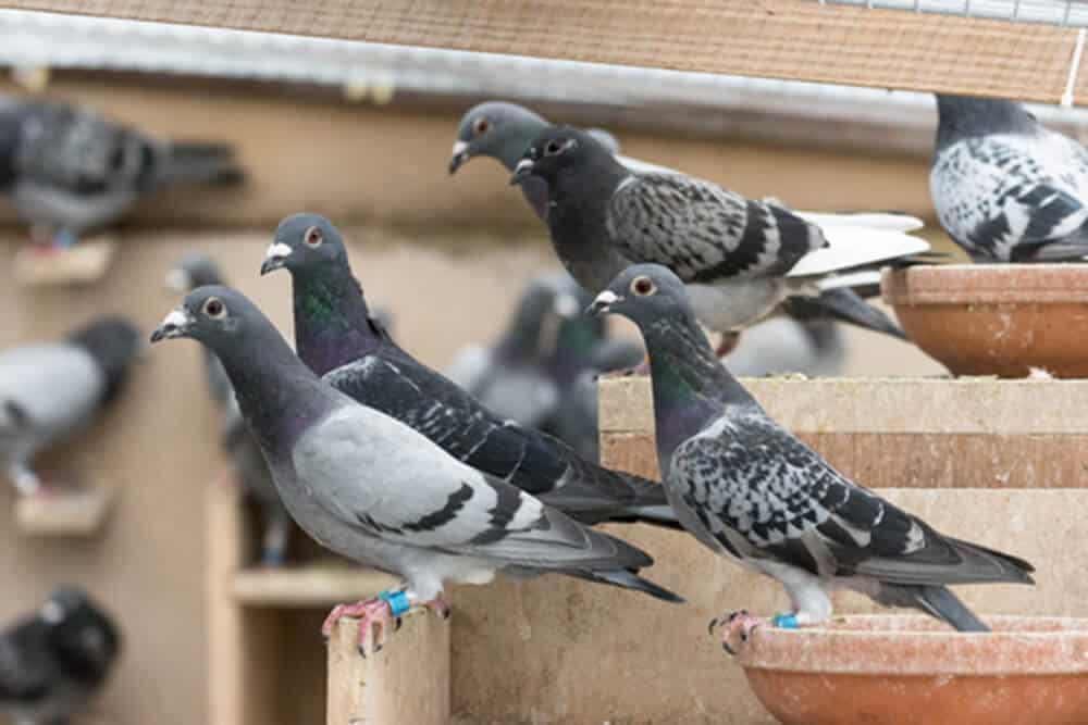 peut on utiliser de la fiente de volailles et de pigeons au jardin d ornement l 39 esprit jardin. Black Bedroom Furniture Sets. Home Design Ideas