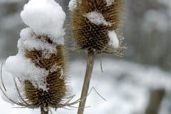Certaines vivaces ne résistent pas bien au gel. Pourquoi?