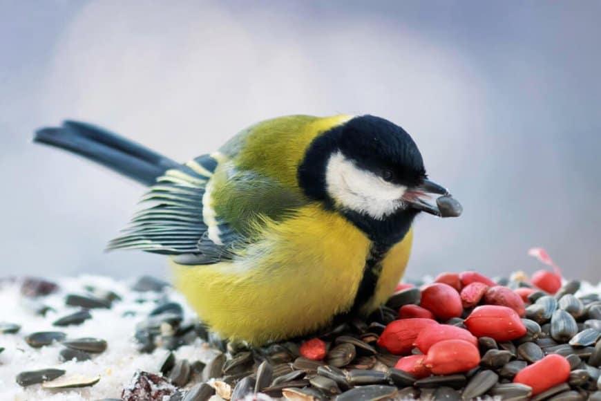 Faut-il nourrir les oiseaux au jardin?
