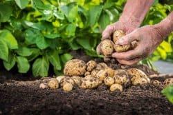 Des pommes de terre hâtives