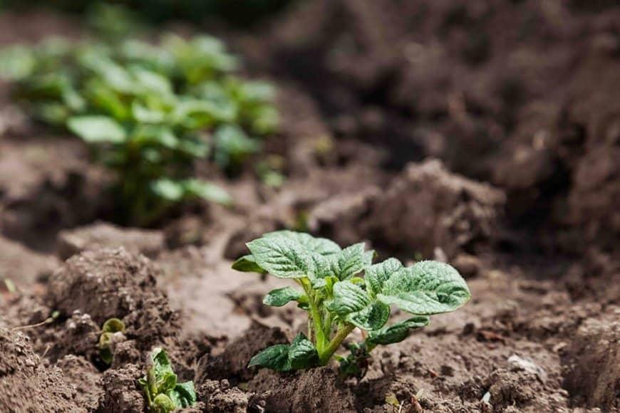 En février, préparer les pommes de terre