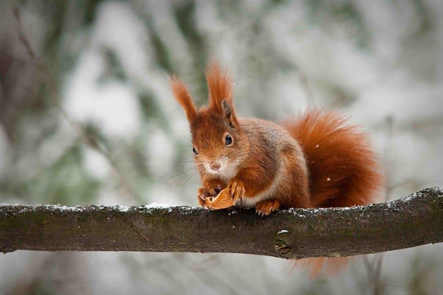L'écureuil roux, l'ermite équilibriste de nos bois