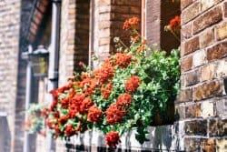 Géranium : les feuilles deviennent rougeâtres ?