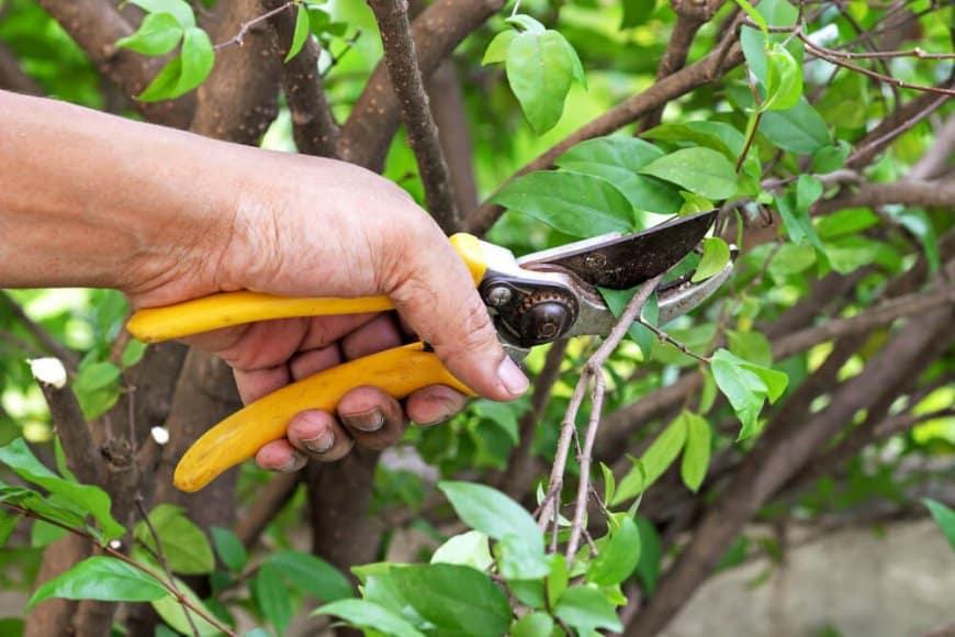 Comment pratiquer la taille d'été sur arbres fruitiers