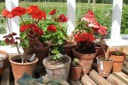 Comment hiverner les géraniums?