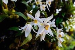 Belles, mais pas seulement! Des orchidées qui se mangent et qui soignent (1/2)