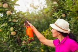 La tanaisie : un insecticide puissant !