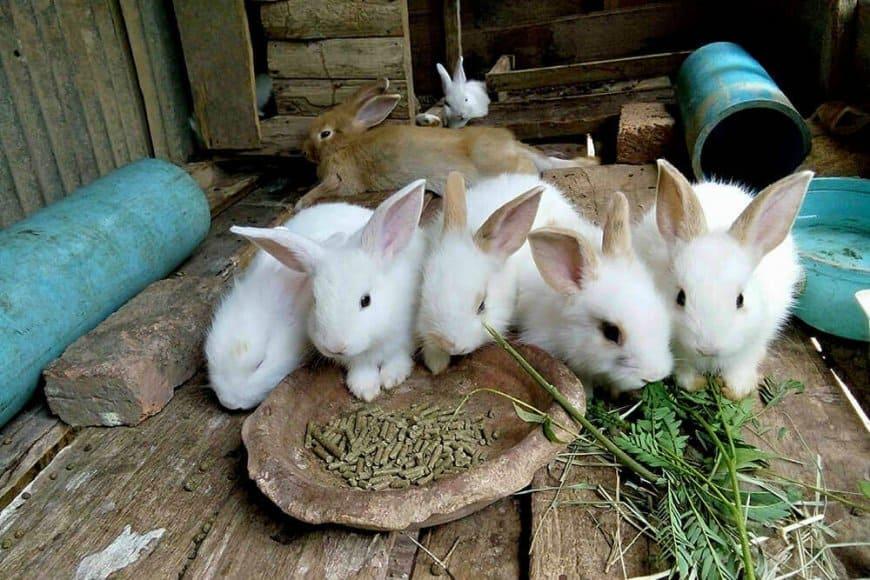 Élevez des lapins au prochain printemps