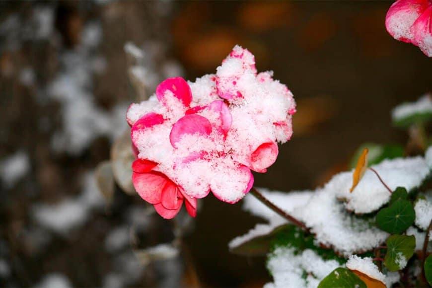 Faut-il retailler les géraniums pendant l'hivernage?