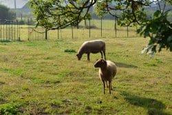 Et si je mettais quelques moutons dans mon jardin?