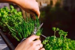 Ciboulette : utile pour le jardin