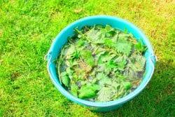 Les atouts du purin d'orties
