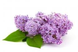 Le lilas, incontournable des jardins de curé