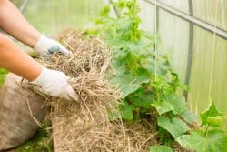 Comment pailler les cultures de légumes pour limiter les arrosages?