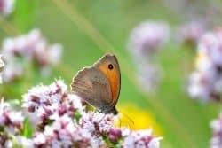 Les papillons : indispensables ailés