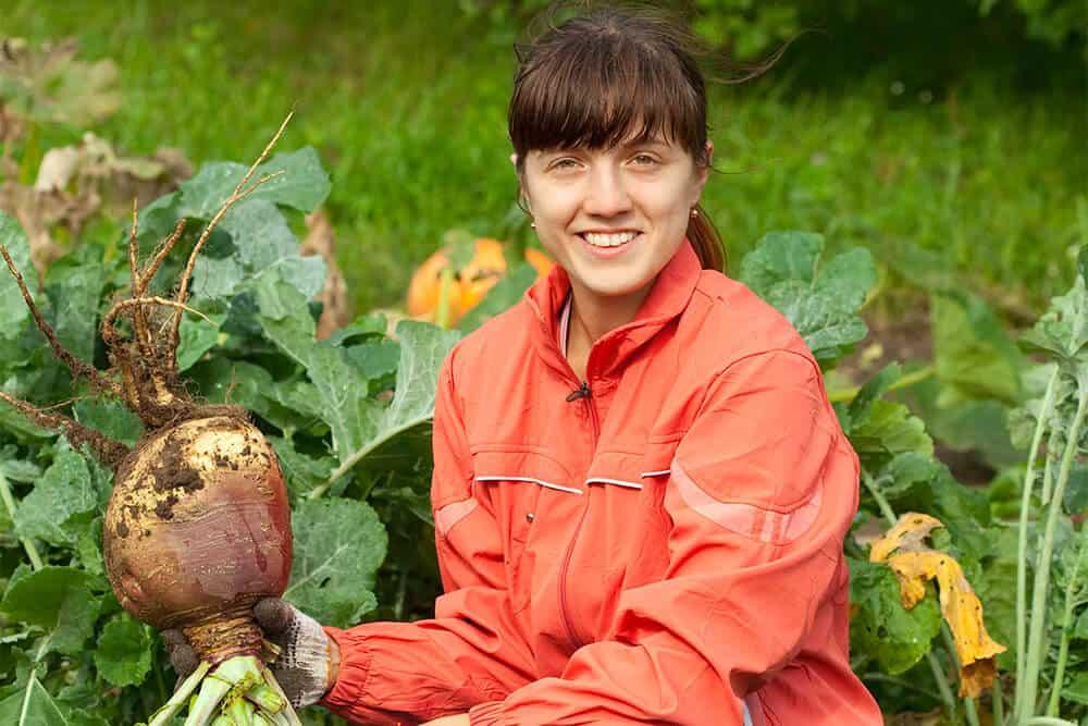 Le rutabaga: récolte et méthode de conservation