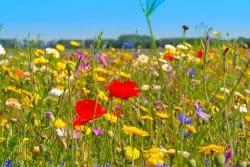 Une prairie fleurie en 2020