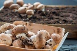 Cultiver des champignons chez soi, c'est possible !