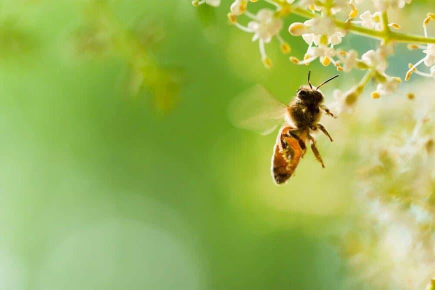 Les abeilles ont-elles un compas dans l'oeil ?
