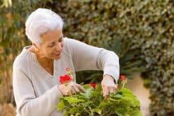 Quelle est la meilleure méthode pour hiverner des géraniums?