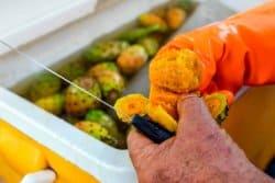 La peau de figues de Barbarie frite (Recette sicilienne)