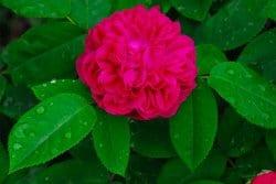 Rose de Resht : s'il n'en fallait qu'une au jardin, ce serait elle
