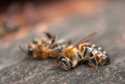 ROUNDUP, le tueur d'abeilles