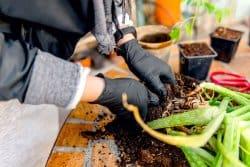 Comment cultiver l'aloe vera chez vous?