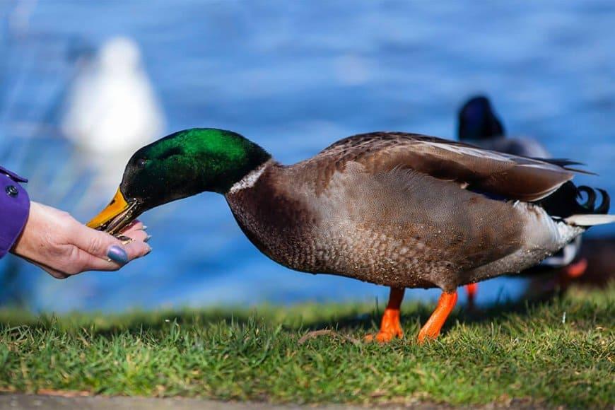 Comment nourrir les canards d'ornement