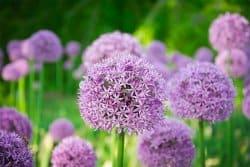 Entrevue avec Allium sativum (ceci est une fiction)