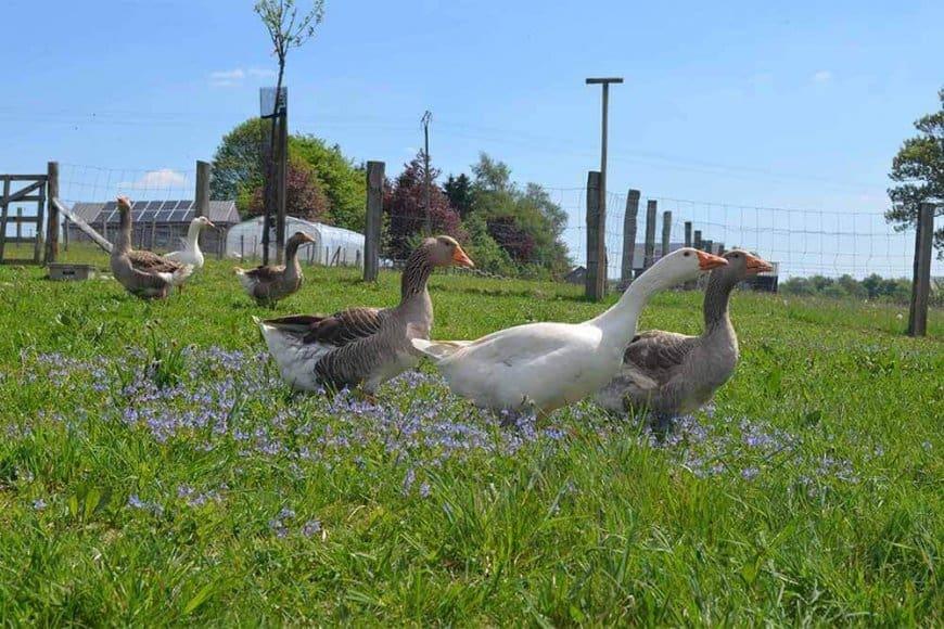 Pourquoi élever un troupeau d'oies dans son jardin