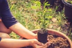 Comment planter un citronnier