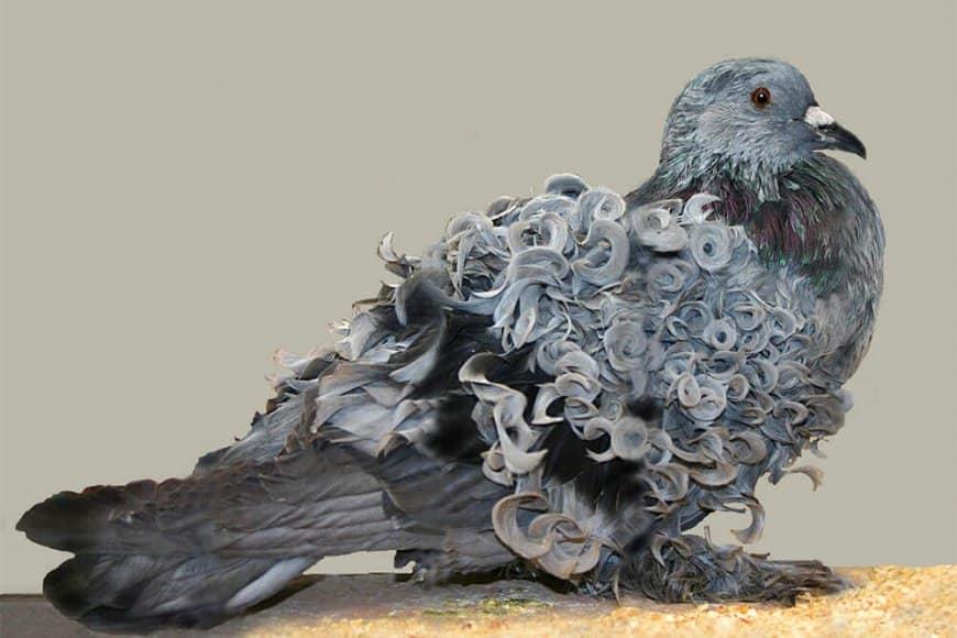 Le Pigeon frisé hongrois