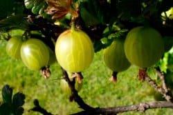 Le groseillier à maquereau : variétés, culture et entretien